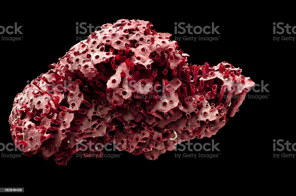 Marine Biology Red Ocean Coral Isolated on Black royalty-free stock photo