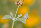 Marine Blue Butterfly, Leptotes marina, on Funky Desert Flower in Arizona
