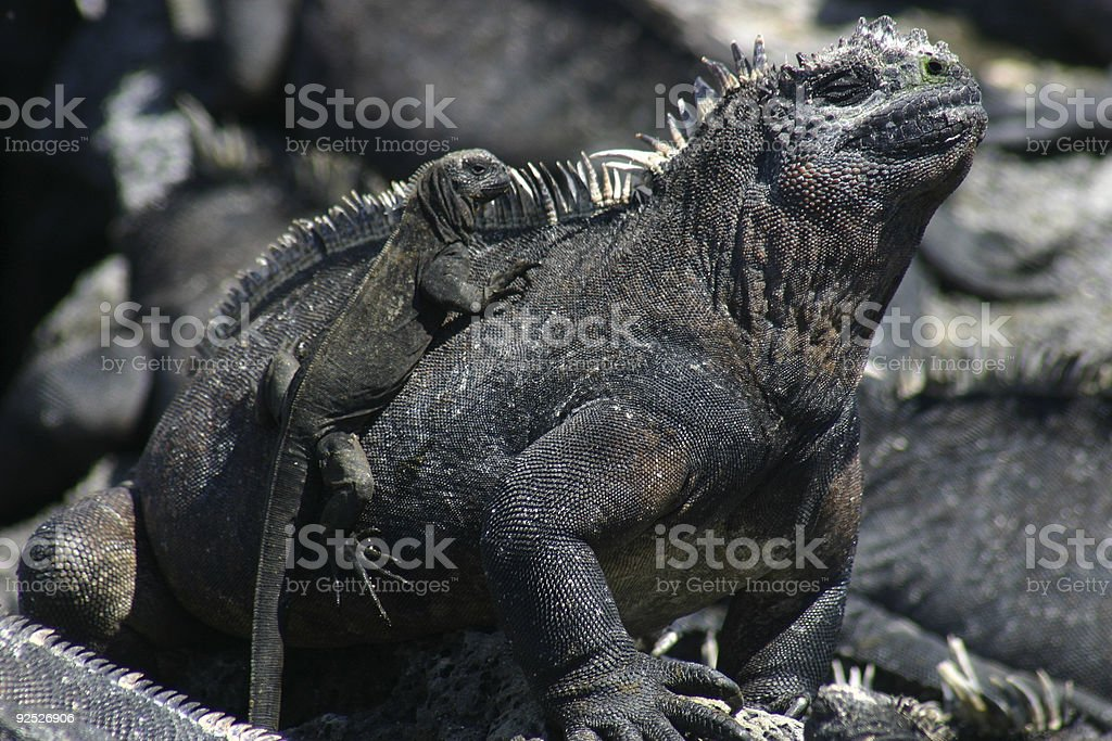 Marine Iguana and baby stock photo