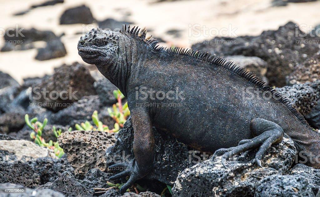 Marine iguana close up on the beach. stock photo