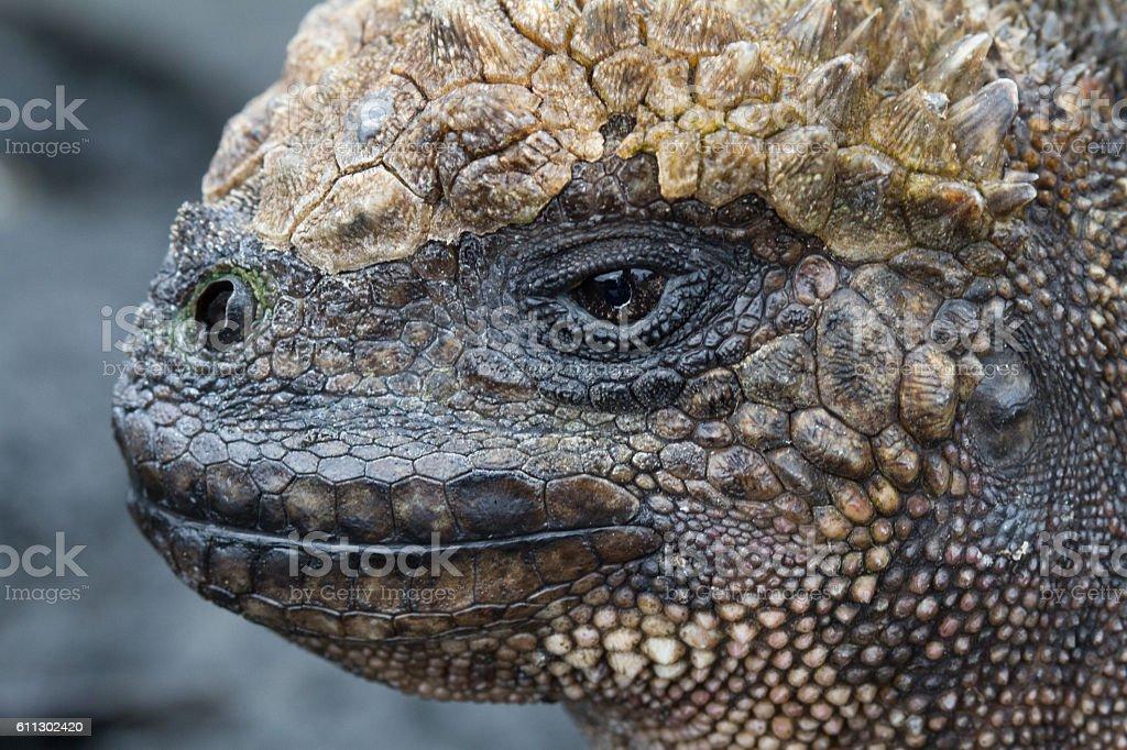 Marine Iguana Close up stock photo
