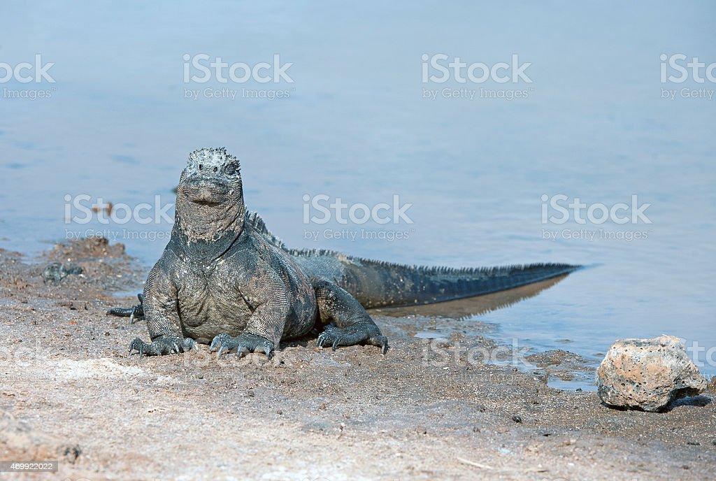 Marine Iguana emerges from water, Galapagos Islands, Ecuador stock photo