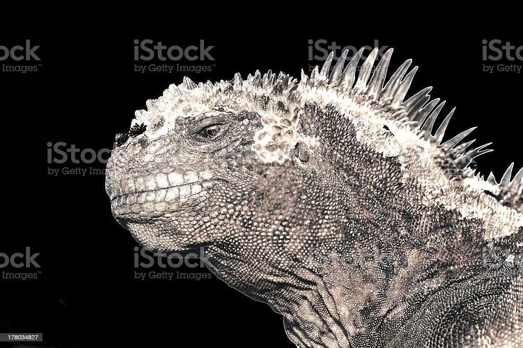 Marine iguana Galapagos Islands stock photo