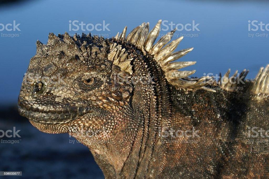 Marine Iguana head profile Galapagos stock photo