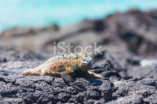 Marine Iguana in Isabela Island