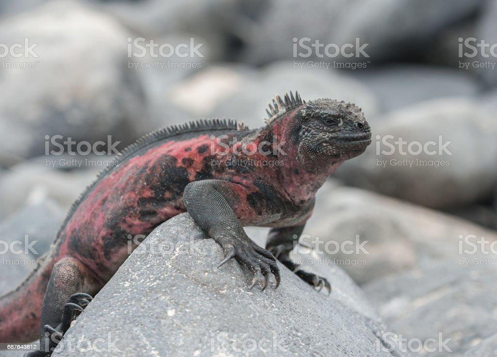 Marine Iguana on a rock on Espanola, the Galapagos stock photo