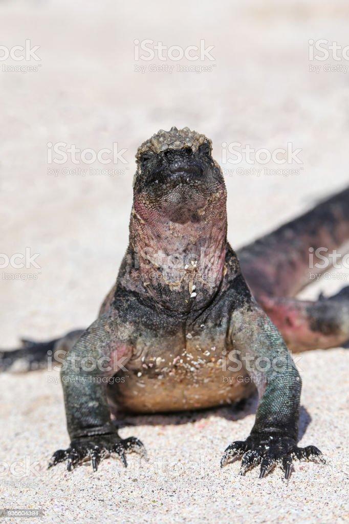 Marine iguana on Espanola Island, Galapagos National park, Ecuador stock photo