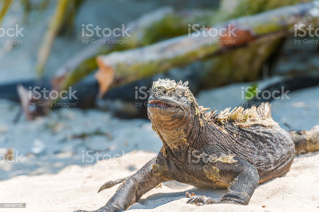 Marine Iguana On Galapagos Islands Stock Photo & More Pictures of ...