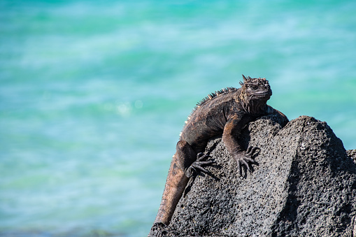 A beautiful marine iguana resting in the sun on the volcanic rocks of the Santa Cruz Island in the Galapagos. Background out of focus. Cpy space avaible.
