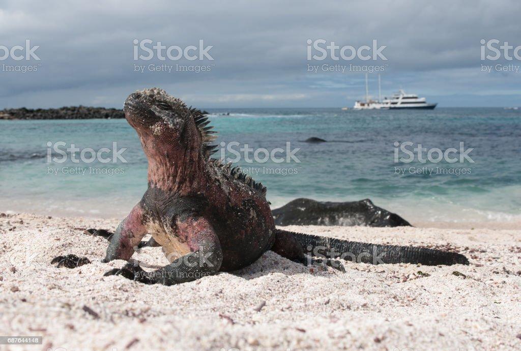 Marine Iguana on the beach of Espanola, the Galapagos stock photo