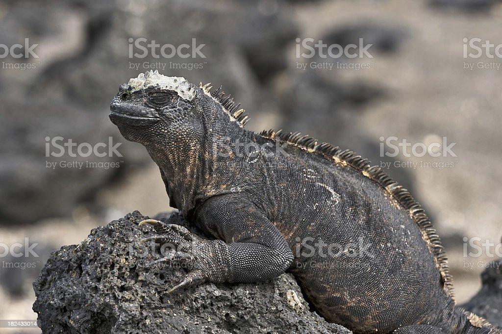 Marine Iguana on the Galapagos stock photo