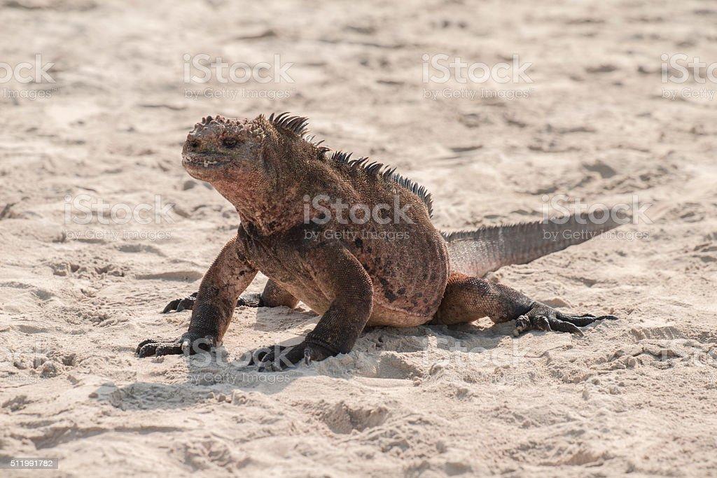 Marine Iguana Stock Photo & More Pictures of Animal Behavior | iStock