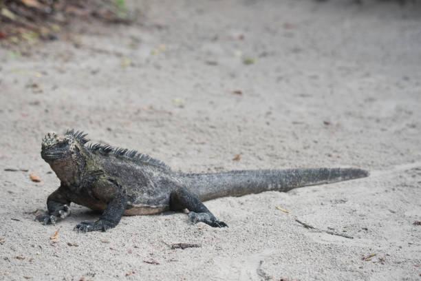 marine iguana - dally stock pictures, royalty-free photos & images