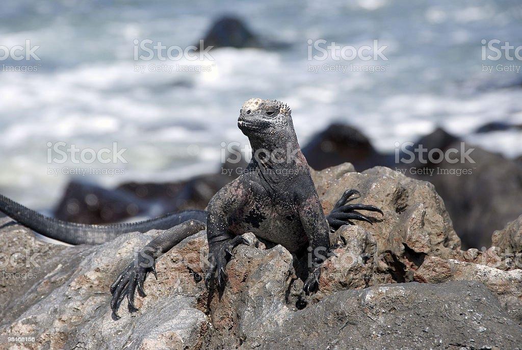 바다이구아나 royalty-free 스톡 사진