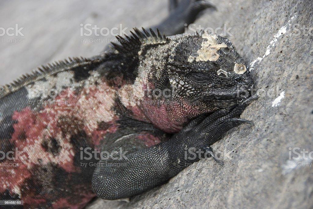 iguana marina foto stock royalty-free