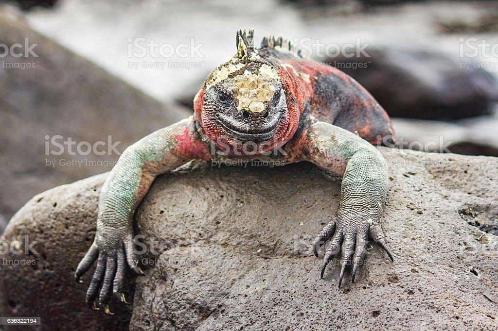 Marine Iguana Resting on Rocks at Galapagos Islands stock photo