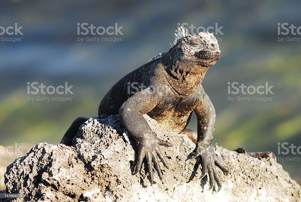 Marine iguana sun worshipping stock photo