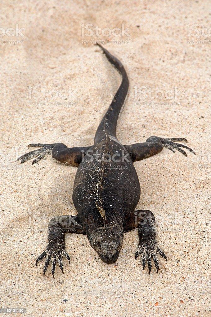 Marine Iguana sunbathing, Galapagos Islands stock photo