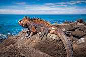 A beautiful marine iguana is standing still on the rocks enjoying the sun bath at San Cristobal in the Galapagos Islands Ecuador.