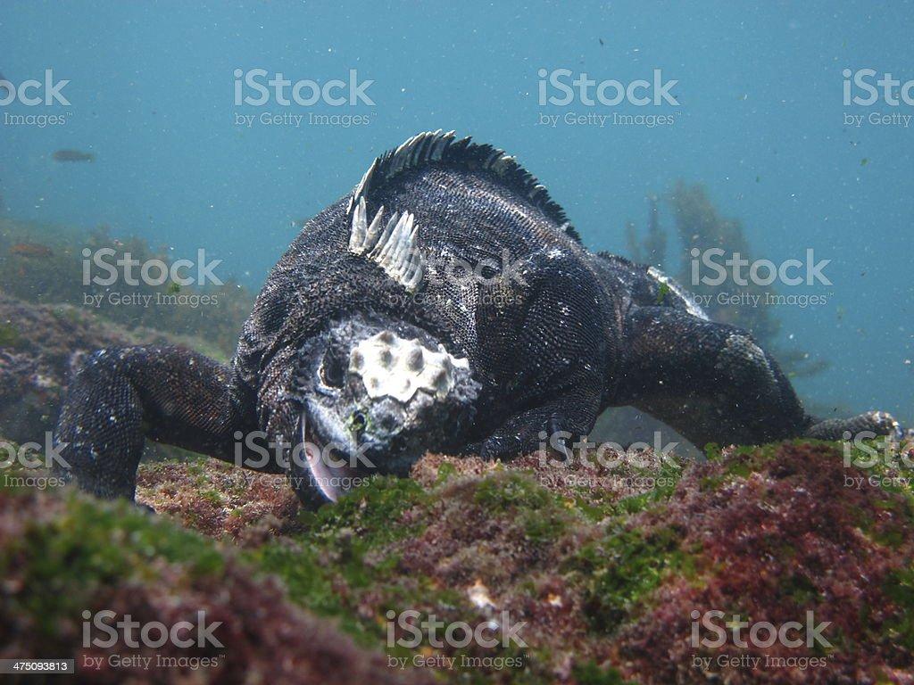 Marine Iguana Underwater stock photo