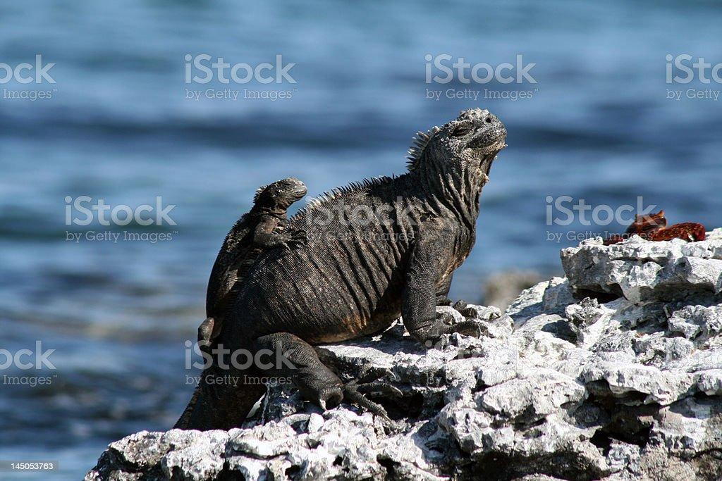 Marine Iguana with a baby stock photo