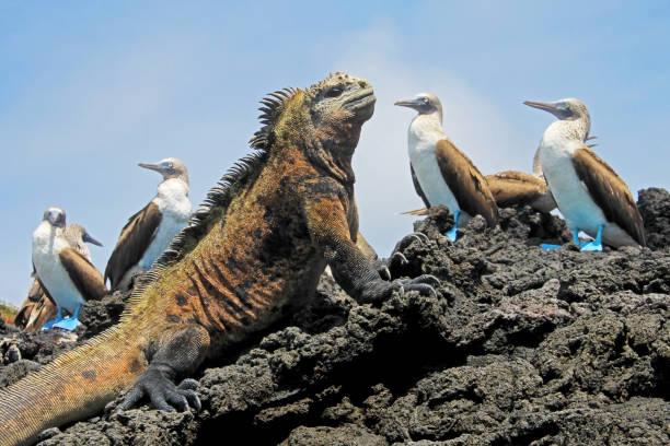 Marine iguana with blue footed boobies, booby, Sula nebouxii and Amblyrhynchus cristatus, on Isabela Island, Galapagos, Ecuador stock photo