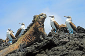 Marine iguana looking at the blue footed booby, boobies on Isabela Island in Galapagos, Ecuador. Galapagos, Ecuador