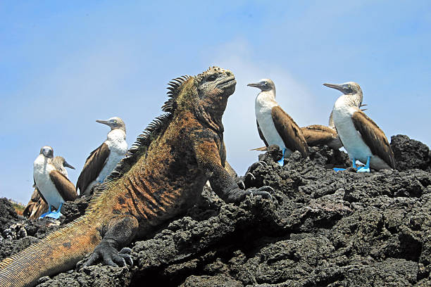 Marine iguana with blue footed booby on Galapagos stock photo