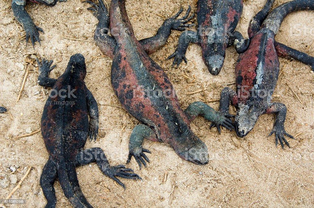 Marine Iguanas sunbathing, Galapagos Islands stock photo