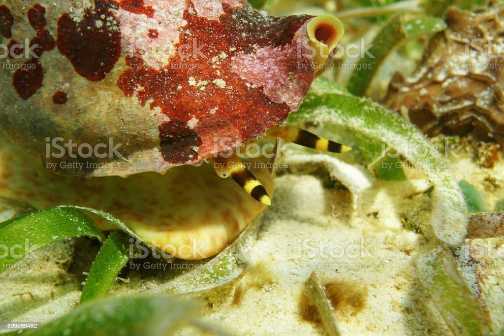 Marine life mollusk Atlantic triton trumpet head stock photo