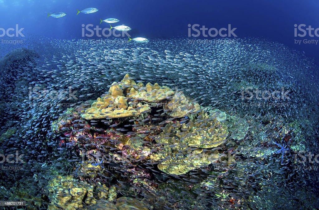Marine Life , shoaling fish stock photo