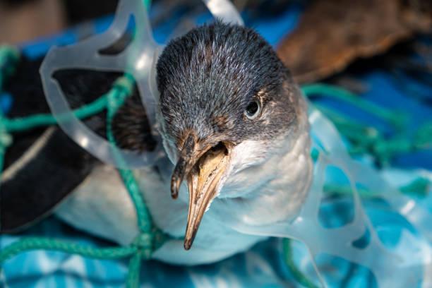 concepto de contaminación plástica marina y conservación de la naturaleza - penguin atrapado en la red de plástico - contaminación ambiental fotografías e imágenes de stock