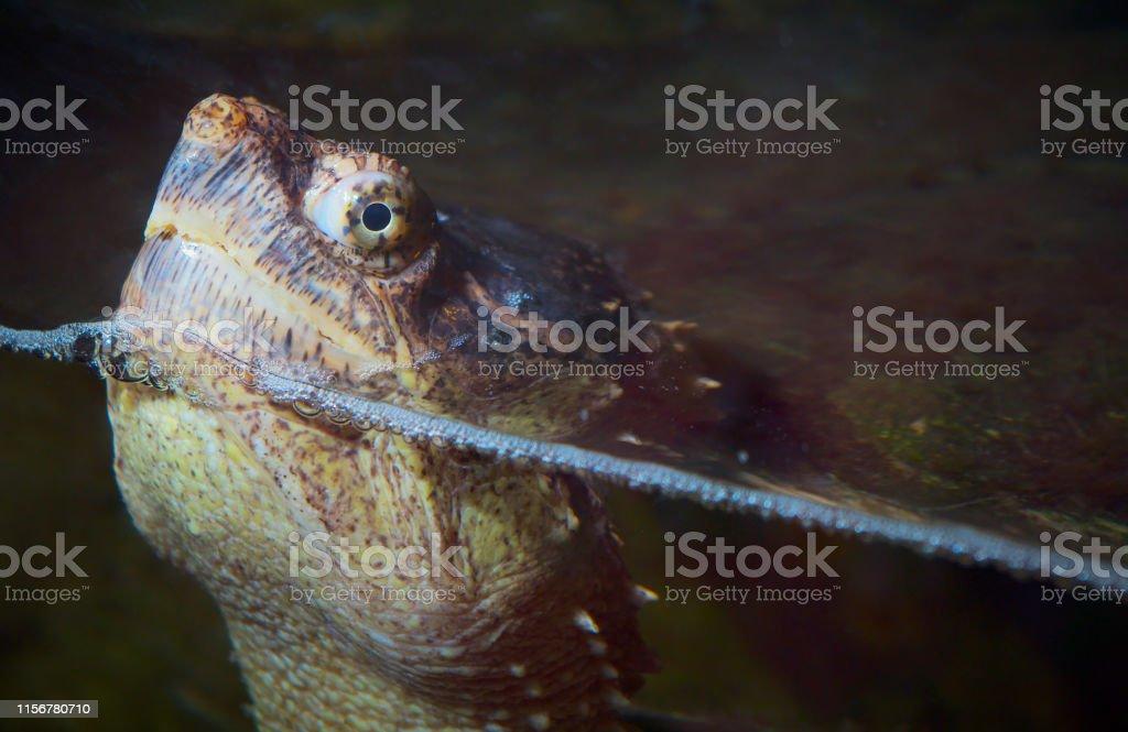 turtle head water reptile giant monster eye