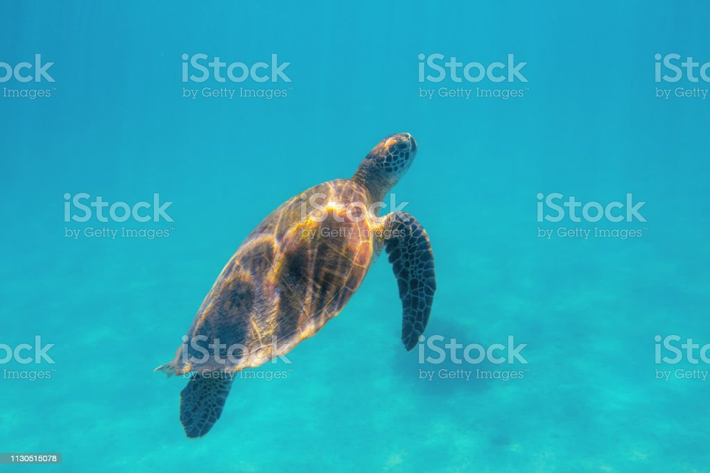 Marine turtle in aqua blue sea. Coral reef animal underwater photo....