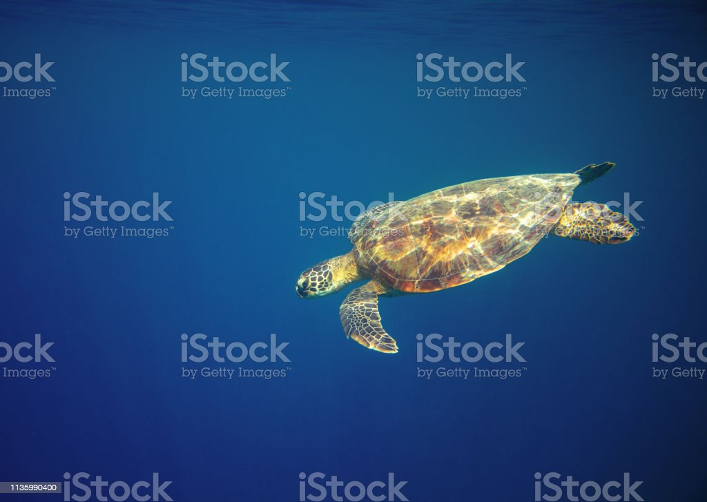 Marine turtle in ocean waters. Coral reef animal underwater photo....