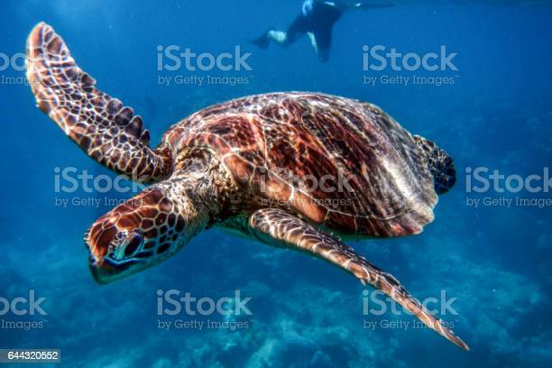 Marine turtle in the great barrier reef in australia picture id644320552?b=1&k=6&m=644320552&s=612x612&h=ezsu3skzwcgzc25zuuh5etrv5gnabb2xxd4gyhfooza=