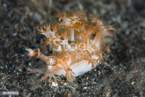 Marionia Nudibranch Stock Photo & More Pictures of Brown