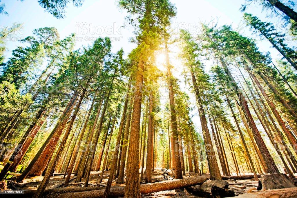 Mariposa Grove trees stock photo