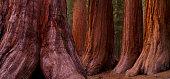 Beautiful sun rays thru the redwood trees.