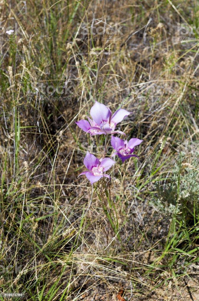 Mariposa Lily stock photo