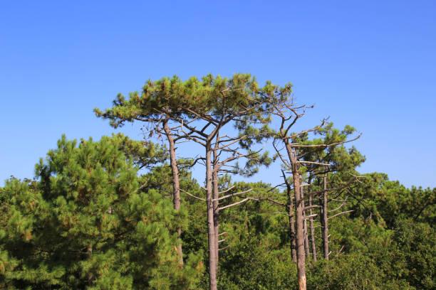 Maritime Pine, Aquitaine, France stock photo