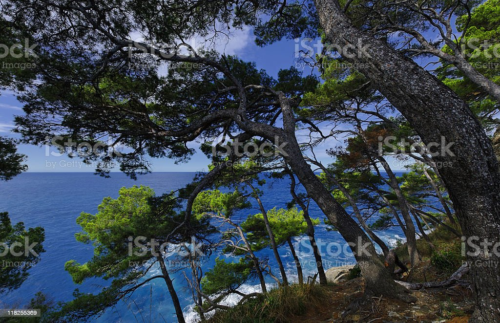 Maritime Pine. Color Image stock photo