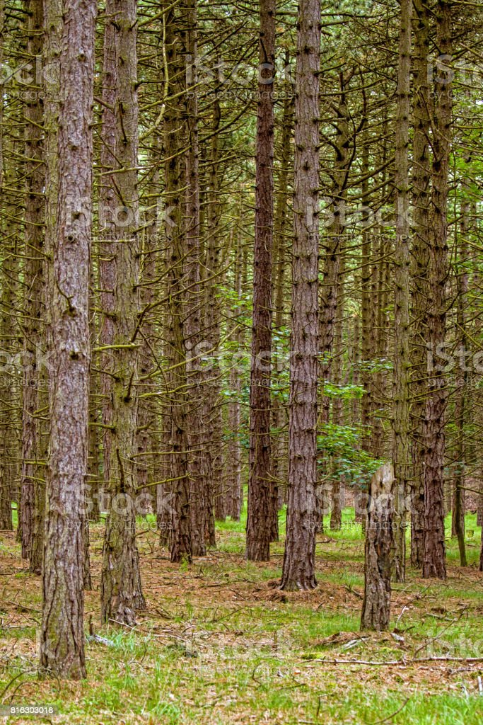 Maritime pine forest stock photo