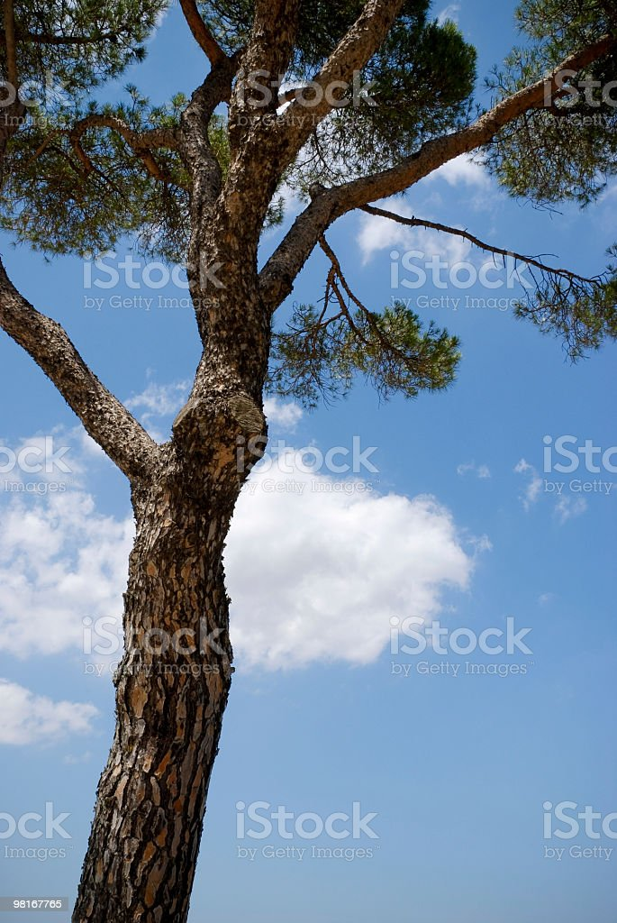 Maritime Pine in Italy royalty-free stock photo