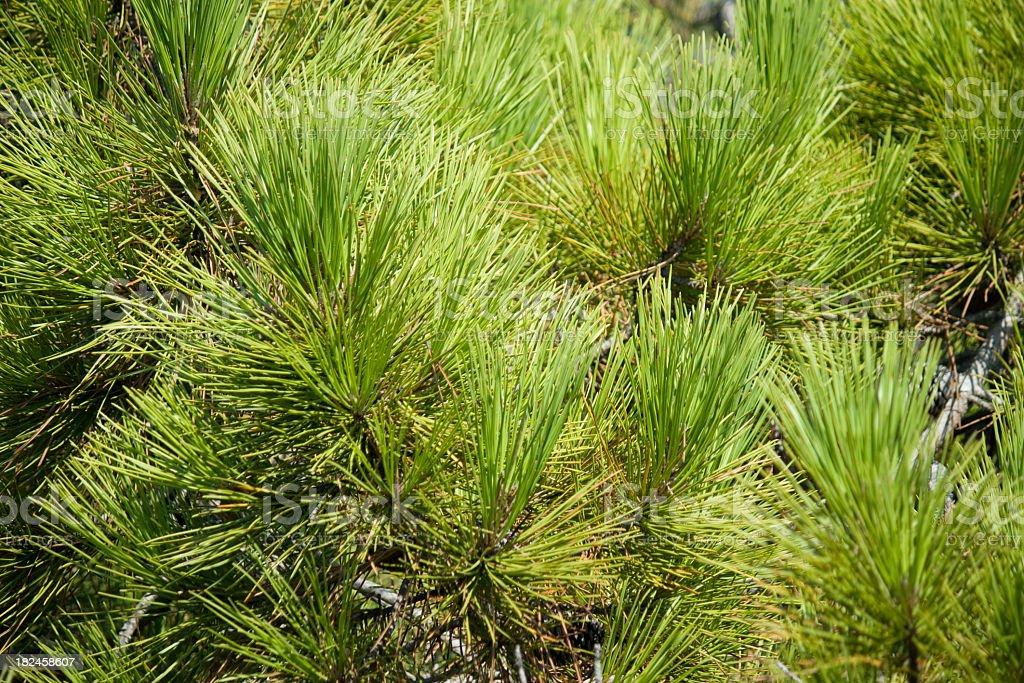 Pinus pinaster, vegetação Mediterrâneo foto royalty-free