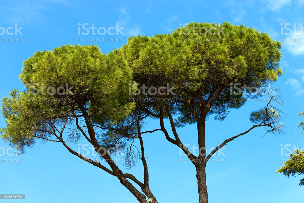 Maritime Pine on Blue Sky stock photo