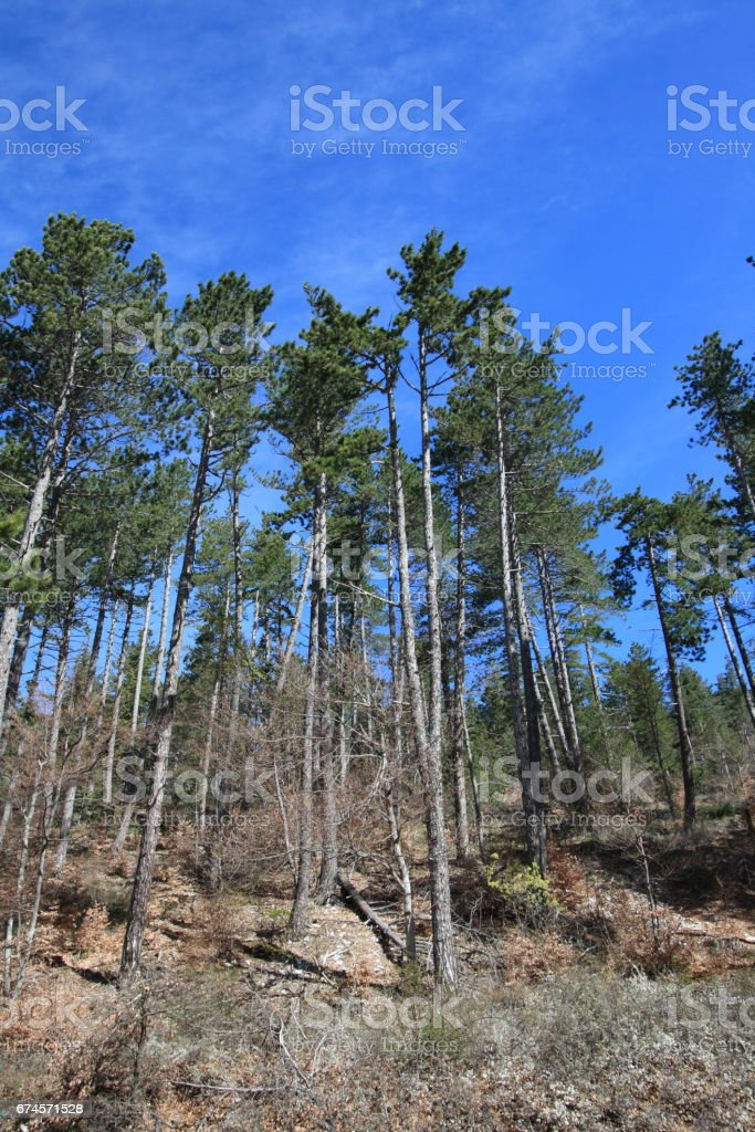maritime pine or cluster pine in Provence stock photo