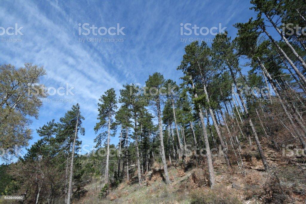 maritime pine stock photo