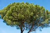 Maritime Pine Tree on Blue Sky
