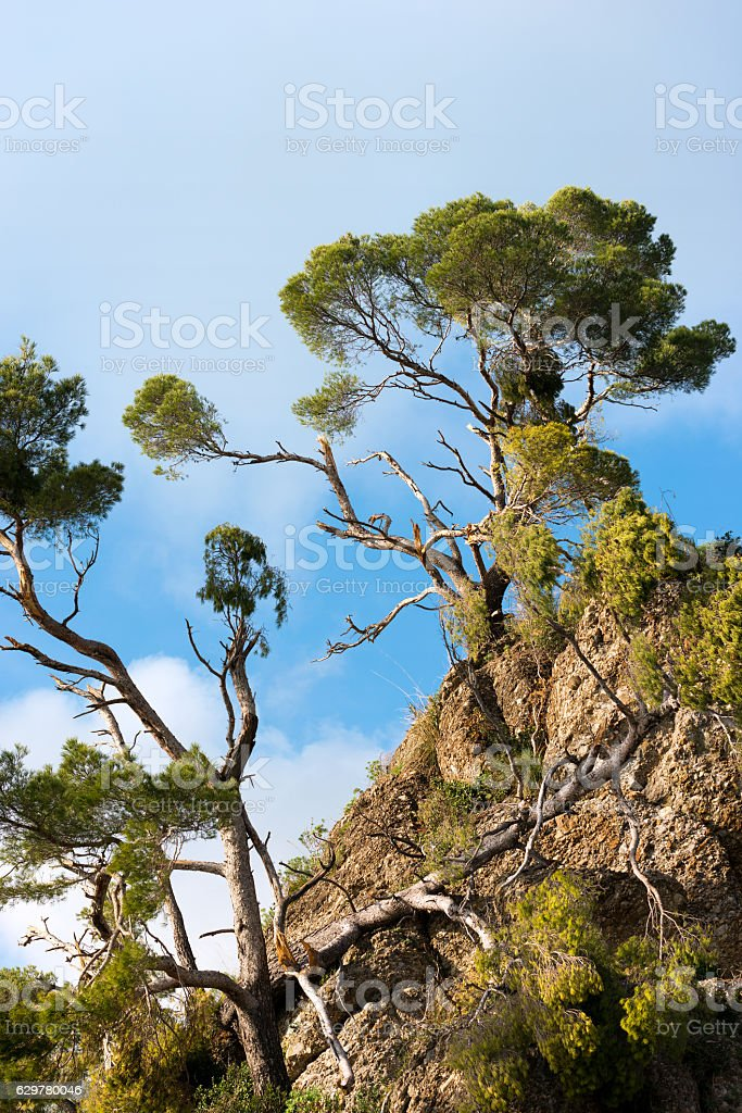 Maritime Pines Damaged by Storm - Italy stock photo